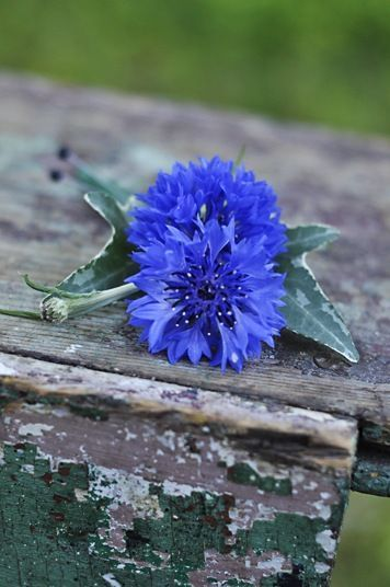 The Blue Cornflower of Germany