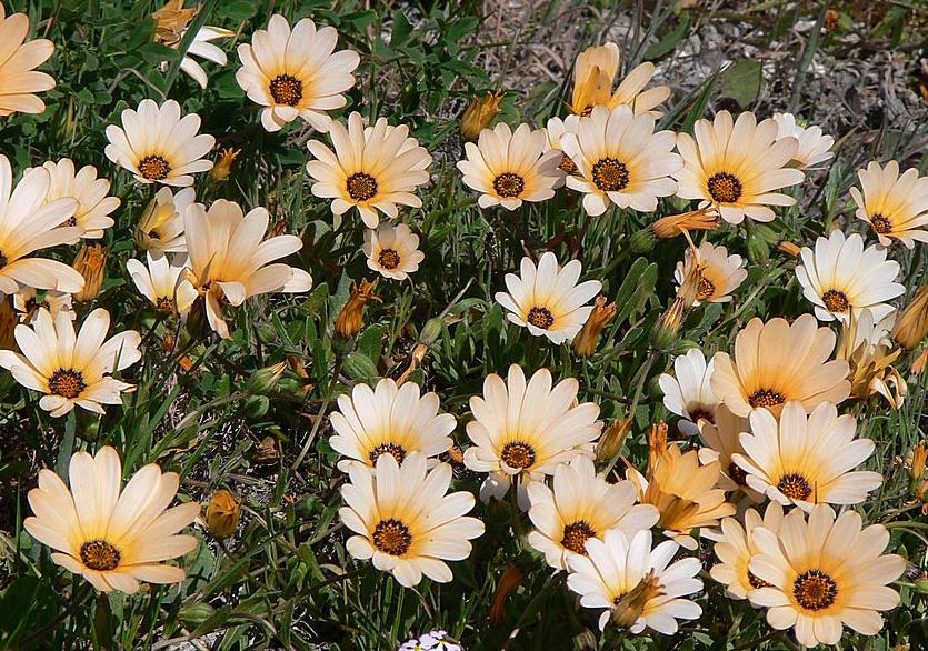 Arctotis_stoechadifolia_P._J._Bergius,_Frühlingsblüte_West_Coast_N.P._P1030626